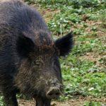 Cazzago Brabbia – Un problema di grande pericolosità sulla strada Sp. 32 la presenza degli ungulati