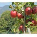 Orino – Serie di incontri mirati sulla coltivazione delle mele nel nostro paese.