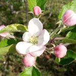 Il meleto fiorito – Azienda agricola Milesi Azzio-Orino (Va)