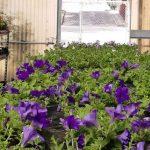 Le petunie, le surfinie, i gerani, i fiori di vetro collocati nelle fioriere  nella piazza Primo Maggio
