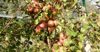 In Valcuvia…. Azzio – Orino Le mele sono pronte – Azienda agricola Milesi Orino (Va)