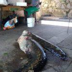 La mattina del 13 maggio due grossi pesci siluri erano adagiati per terra vicino al Negus, Luigi Giorgetti
