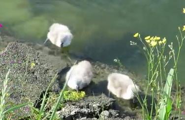 Menta e rosmarinoi piccoli cigni sul fiume ticino video for Piccoli piani di casa sul fiume